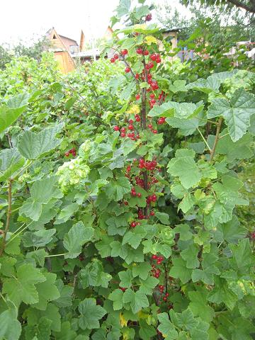 Red currant1.JPG