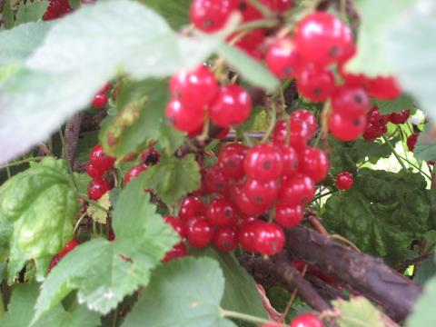 Red currant2.JPG